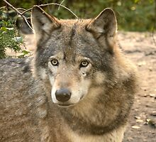 Wolf / Gray wolf by MaartenMR