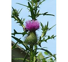 Lovely Thistle Photographic Print