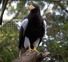 Steller's Sea Eagle, Edinburgh Zoo by Miles Gray