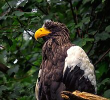 Steller's Sea Eagle Edinburgh Zoo by Miles Gray