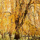 Weeping Willow  by CJTill