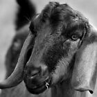 Young Goat BW by DavidsArt