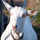 Ms Goat - Here's Looking At You by jayneeldred