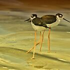 Black-neck Stilt by Deborah  Benoit