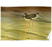 Black-neck Stilt Poster