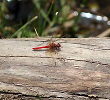 Red Dragonfly by rhamm