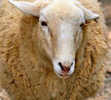 SA Sheep by Bami