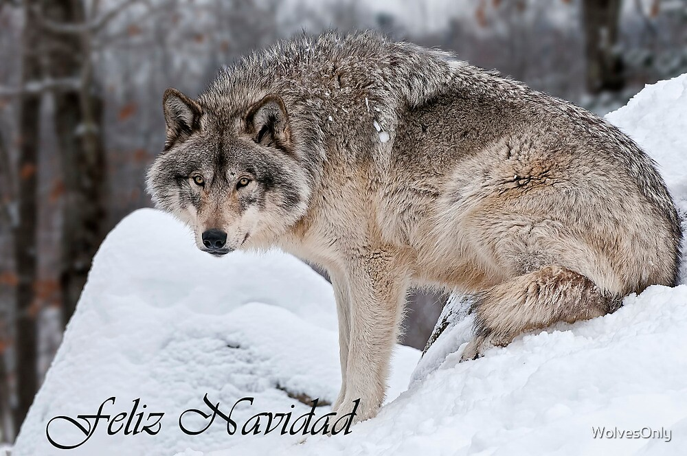 Timber Wolf Christmas Card Spanish 10 by WolvesOnly