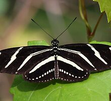 Zebra Longwing Butterfly by jozi1