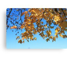 Fall yellow maple leaves in blue sky. landscape photography. Canvas Print