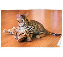 Bengal Kittens at Play Poster