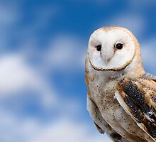 Barn Owl  by Michael Shake