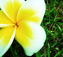 White Plumeria by Chanapol Muanpawpong