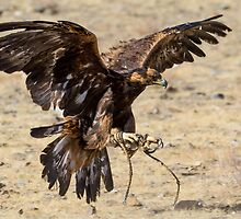 Golden Eagle Swooping In by raredevice