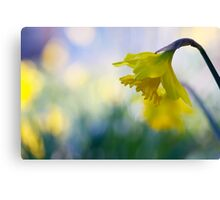daffodil dreaming Canvas Print