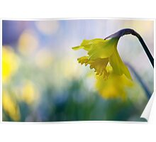daffodil dreaming Poster
