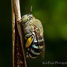 Blue banded Bee by Rick Playle