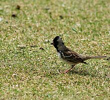 Harris Sparrow on Grass by rhamm