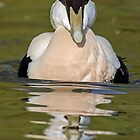 Eider Duck by Mark Hughes