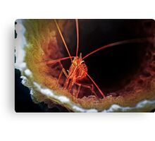 Peppermint Shrimp in Tube Sponge, Bonaire Canvas Print
