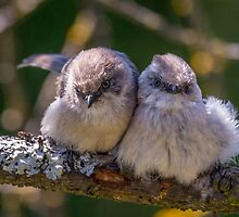 """Snuggling Siblings"" -- Bushtits by Tom Talbott"