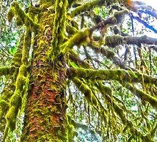 Hoh Rainforest, Olympic Peninsula, Washington State by GregorDyer