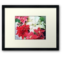 Mixed color Poinsettias 1 Angelic Framed Print