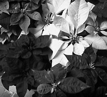 Mixed color Poinsettias 1 B&W by Christopher Johnson