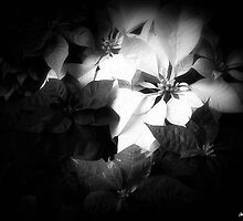 Mixed color Poinsettias 1 Dark by Christopher Johnson