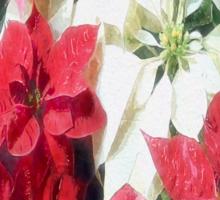 Mixed color Poinsettias 1 Watercolor Sticker