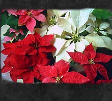 Mixed color Poinsettias 1 Blank P4F0 by Christopher Johnson