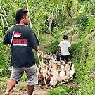 Herding Ducks in Banyuatis by jayneeldred