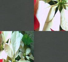 Mixed color Poinsettias 1 Blank Q6F0 Sticker