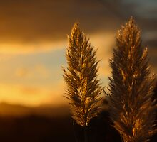 Pampas grass sunset  by Aaron  Fleming