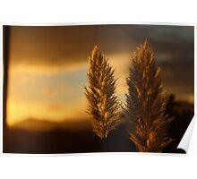 Pampas grass sunset  Poster