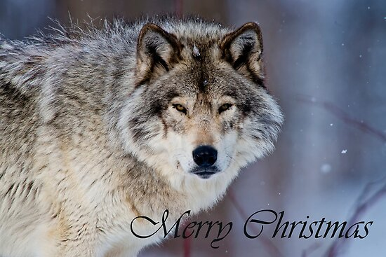 Timber Wolf Christmas Card 4 by Michael Cummings