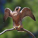 Peregrine Falcon (Falco peregrinus) by Donovan wilson