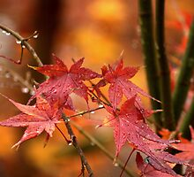 Raindrops On My Japanese Maple Tree by Diana Graves Photography