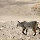 Bobcat on the Move by Corri Gryting Gutzman