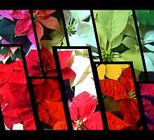 Mixed color Poinsettias 1 Tinted 1 by Christopher Johnson