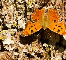 Eastern Comma Butterfly by NaturalCultural