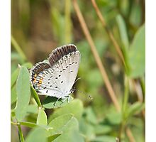 Eastern Tailed Blue Photographic Print