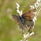 Butterflies - Blues and Skippers by NaturalCultural