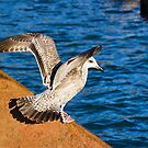 Immature Herring Gull  by Susie Peek