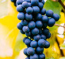 red wine grapes by peterwey
