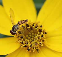 Hover Fly by Sheryl Hopkins