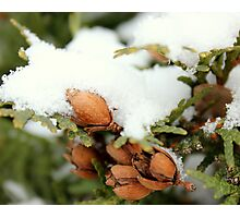 ceder tree with fresh layer of snow Photographic Print