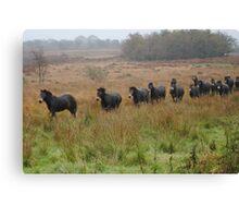 Semi wild Exmoor ponies Canvas Print