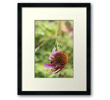 Cone Flower 3 Framed Print