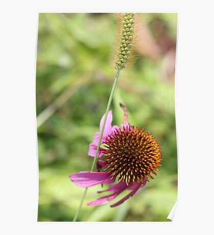 Cone Flower 3 Poster